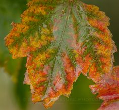 Those Fabulous Fall Leaves in Madison County, Iowa after a cold rain | Show Me Nature Photography