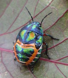 ˚Rainbow Shield Bug (Scutelleridae, Hemiptera) on Jatropha leaf - Mozambique. Nature is the best artist!