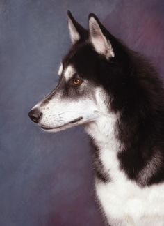A handsome, intense looking Husky. www.patricknau.com #dogportraits #petportraits