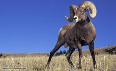 big horn sheep | Bighorn sheep standing in Yellowstone National Park