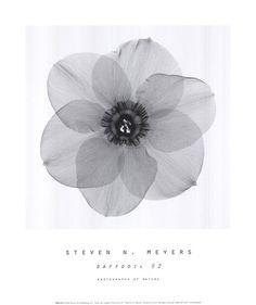 Daffodil #2 Art Print by Steven N. Meyers