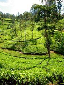 Sri Lanka coffee plantation