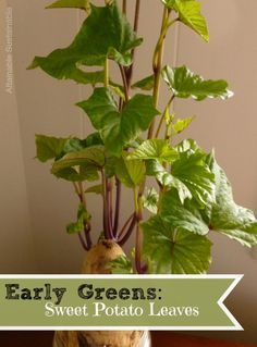 Early Greens: Sweet Potato Leaves