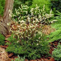 200+ Aruncus Goats Beard Plant Seeds , Under The Sun Seeds
