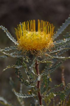 Banksia nobilis, commonly known as the golden dryandra, great dryandra or kerosene bush, is a shrub of the family Proteaceae which is endemic to Western Australia.