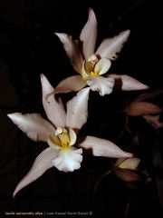 Laelia autumnalis (carmaniax) Tags: naturaleza flores alba michoacn laelia orqudeas uniflora barkeria silvestres tlalpujahua autumnalis bletia