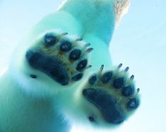 "funkysafari:  A polar bear's paws are marvelously adapted to life in the Arctic. A polar bears giant paws can be 12"" across and act as snowshoes to spread the polar bear's weight out so they can walk on thin ice. The bottom of a bear's paw is has lots of little bumps on it, like the surface of a basketball, which helps the bear get a good grip on the ice and keep them from slipping. Thickly callused pads both protect from the cold and prevent the bears from cutting themselves on sharp ice…"