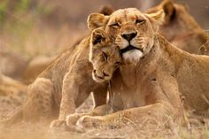 Kruger National Park in South Africa is one of the greatest game reserves on Earth, containing the famous Big Five. Here is our beginner's safari guide. Kruger National Park, Lioness And Cubs, Wild Lion, African Safari, African Animals, Nature Animals, Big Cats, National Geographic, Mammals