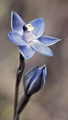 Glistening Sun Orchid, Thelymitra