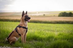 Fresh air @yummypets #eiko #malinois #dog