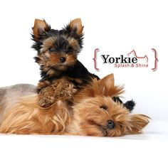 This article goes through the symptoms of poisoning, treatment for poisoning, and a list of things that are poisonous to Yorkies. Black Lab Puppies, Cute Puppies, Cute Dogs, Dogs And Puppies, Corgi Puppies, Yorkies, Terrier Breeds, Bull Terriers, Silky Terrier