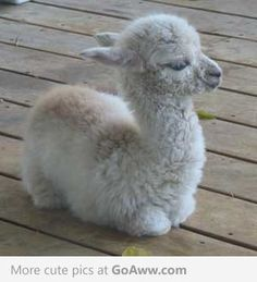 Baby Alpaca - cute fuzz ball!