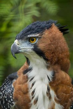Ornate hawk eagle.