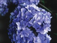 Before you start pruning, know what type of hydrangea you have advises HGTV Gardens Master Gardener Danny Flanders.