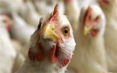 Bird flu- symptoms and protection