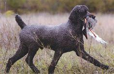 Black Standard Poodle retrieving duck