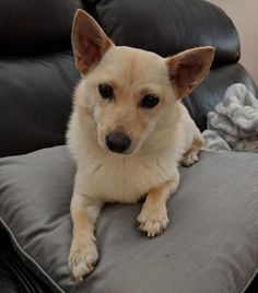 Maggie is an adoptable shiba inu searching for a forever family near Rancho Santa Margarita, CA. Use Petfinder to find adoptable pets in your area.