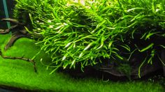 Carpet aquarium plants or foreground aquarium plants are these species of aquatic plants which cover the bottom of your water tank. They are the most important plants in aquascaping. Carpet plants are shorter than other plants and successfully fill the front of your aquarium. Lilaeopsis, Micro Sword, Micranthenum ,Pogestemon, Lobelia mini, Hemianthus thalicroides Cuba , Dwarf Baby Tears, or Eleocharis parvula, Dwarf spikerush, Eleocharis accicularis, Dwarf hairgrass, Hemianthus micrant...