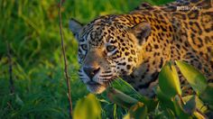 Planet Earth 2 Jaguar