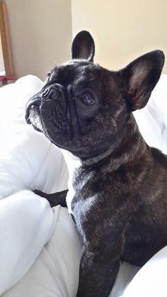 Our french bulldog xx