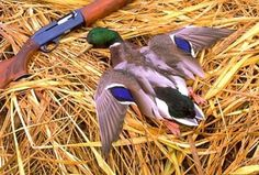 duck hunting pics - Google Search