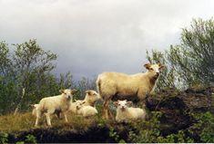 Islanti: Islantilainen villapaita | Punomo Goats, Cow, Pullover, Animals, Animales, Animaux, Sweaters, Cattle, Animal