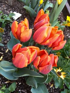 Tulips on fire #spring #nyc