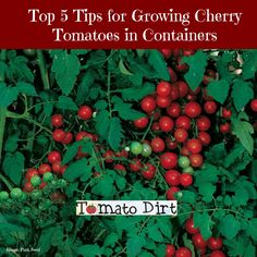 Growing Tomatoes In Pots - Use these top 5 tips for growing cherry tomatoes in containers to have healthy plants and maximize your crop. Growing Tomatoes Indoors, Growing Tomatoes From Seed, Growing Vegetables In Containers, Growing Tomato Plants, Growing Grapes, Grow Tomatoes, Baby Tomatoes, Tomato Seedlings, Dried Tomatoes