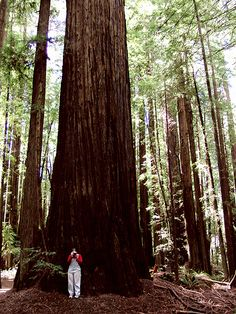 The Redwood Forest, California
