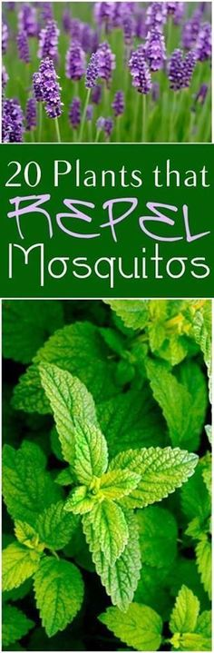 Plants that Repel Mosquitos 20 Plants that Repel Mosquitoes. Great plants and flowers that repel mosquitoes in your Plants that Repel Mosquitoes. Great plants and flowers that repel mosquitoes in your backyard. Natural Mosquito Repellant, Mosquito Repelling Plants, Organic Gardening Tips, Gardening Hacks, Organic Plants, Garden Pests, Plantar, Landscaping Plants, Patio Plants