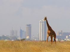 Nairobi, Kenya - the country's capital city can attract visitors of the wild side. I loved traveling to Nairobi, Kenya and Addis Abba, Ethiopia. It was a wonderful eye opener. I long to visit other African Countries. Africa Our Africa! Nairobi City, Kenya Nairobi, Kenya Africa, East Africa, Cool Places To Visit, Places To Travel, Places To Go, Kenya Travel, Africa Travel