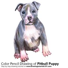Pitbull puppy with Color Pencils [Time Lapse]