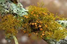 lichen moss photography, Varied Rag Lichen by pellaea