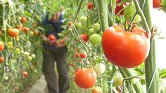 Metodele Maslov sau cum să creștem de zece ori producția de roșii Home And Garden, Organic, Vegetables, Nature, Gardening, Desserts, Tomatoes, Plant, Lawn And Garden