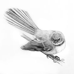 Grumpy little fantail, by Helen Lloyd Bird Drawings, Animal Drawings, Tui Bird, Bird Sketch, Maori Designs, Nz Art, Kiwiana, Australian Birds, Tattoo Outline