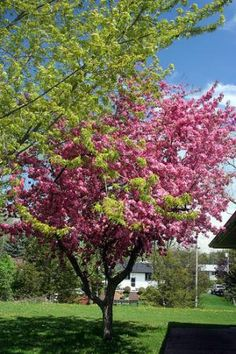 Crabapple lollipop small ornamental tree out doorsie for Small flowering trees for front yard