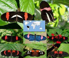 Postman | Heliconius melpomene  | Wingspan:  2.75 to 3.1 in Family: Nymphalidae | Subfamily: Heliconiinae | Tribe:  Heliconiini  Photos © Ryan G. Fessenden