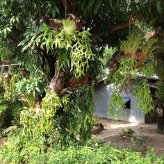 My grandpa used to grow these . Moss Garden, Garden Planters, Garden Art, Florida Plants, Staghorn Fern, Inside Garden, Fern Plant, Vascular Plant, Exotic Plants
