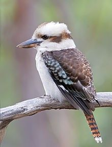 Cucaburra común Australian Birds, Big Bird, Watercolor Bird, Colorful Birds, Kingfisher, Bird Watching, Spirit Animal, Beautiful Birds, Pet Birds