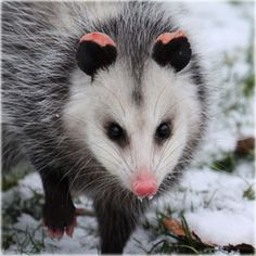 Opossums have a REMARKABLY robust immune system, and show partial or total immunity to the venom of rattlesnakes, cottonmouths, and other pit vipers. Opossums are about eight times LESS likely to carry rabies than wild dogs, and about one in eight hundred opossums are infected with this virus. AMAZING! OPOSSUMS ARE ONE OF MY MOST FAVORITE ANIMALS