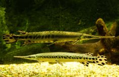 Longnose Gar  The longnose gar is an elongated fish with a long, thin snout full of needle-like teeth perfectly suited for catching prey. Longnose gar are distinguished from other gar species by the long snout, with a length at least 10 times the width.