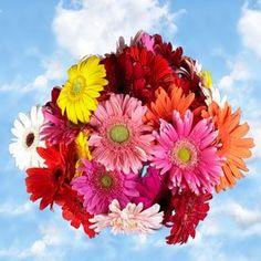 Premium Assorted Gerbera Flowers | Gerberas Assorted Colors 120 Flowers - http://yourflowers.us/premium-assorted-gerbera-flowers-gerberas-assorted-colors-120-flowers/