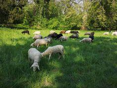 Sheep, House, Animals, Animales, Home, Animaux, Haus, Animal, Houses