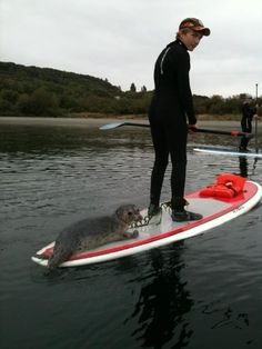 Too Cute!!! During a paddle board yoga class in Seattle a baby seal goes for a ride. From Wasup Yoga