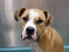 Brooklyn Center -P  My name is MAXIMUS. My Animal ID # is A1015543. I am a neutered male brown and white pit bull mix. The shelter thinks I am about 2 YEARS old.  I came in the shelter as a OWNER SUR on 09/27/2014 from NY 11432, owner surrender reason stated was INAD FACIL. KILLED.
