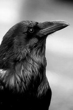Raven Bird, Quoth The Raven, Pet Raven, Crow Bird, Blackbirds, Birds Of Prey, All Birds, Love Birds, Beautiful Birds
