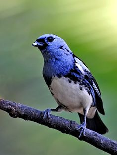 White-bellied tanager (Tangara mexicana brasiliensis) / commonly classified as a ssp. of Turquoise tanager in eastern Brazil, sometimes considered a separate species.