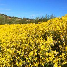 Gult er kult | #gul #blomster #ugress #grøftekant #melhus #tronderbladet #melhusbankenmai #tbsommermagasin #yellow #flower #sommerfølelse #sunnyday #bluesky #essenceofnorway #ilovenorway #natur #nature #vokservilt #dekorasjon #lifeisgood #happyday