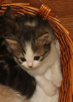 """Brown McTabby and white. So sweet and """"cuddly"""". Available for adoption at the end of July. Ragamuffin Kittens, Oreo, Adoption, Cats, Brown, Sweet, Animals, Foster Care Adoption, Candy"""