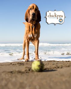 Dog with a ball at SFbayarea. This Perfect picture shoot done by #Chickpeaphotography..!! Do you want to click a perfect picture of your pets?? Contact Us Now:- chickpeaphotographystudio.com #Sfdogs #lovedog #doglovers #SanfranciscoDogs #SfDogslife #Petphotos #doggiephotoshoot #DogsofSanFrancisco #PetsofSanFranscico #SanFranciscoPets #Petphotographers #PetPhotography #ClickMyPetsPictures #mydogs #doggy #PetLovers #puppies #mypets #puppy #dogs #MyPetBestPet #MyPetsphoto